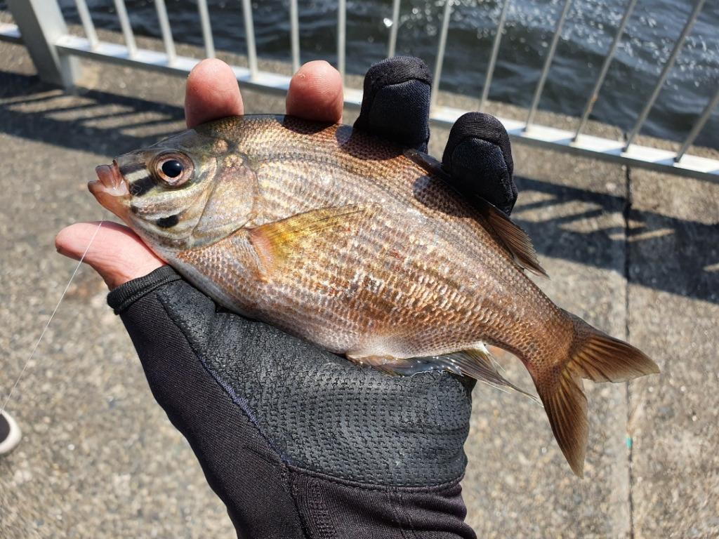 ふれーゆ裏で投げ釣り、フカセ釣り、泳がせ釣りをしたら大物来た!!