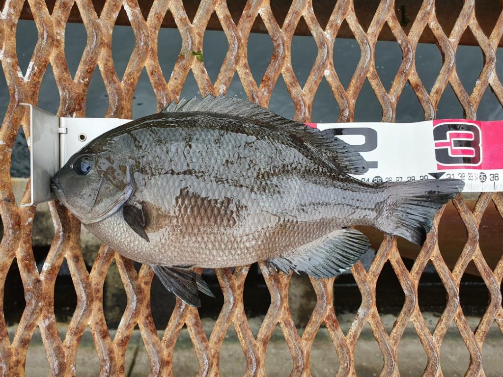 水温が下がり好調の磯子海釣り施設で良型グレをGET!!神奈川・横浜