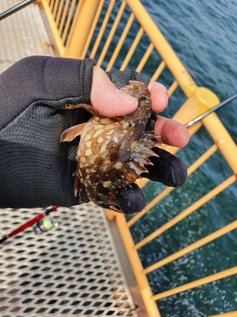 寒グレの後は数釣り!!ウキフカセ釣り メジナ