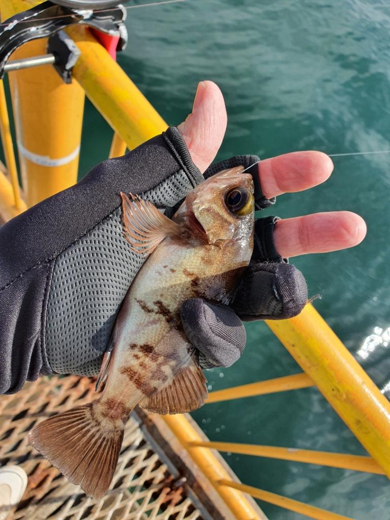 GoToリベンジ!泳がせ釣りでついに大物捕獲!!!