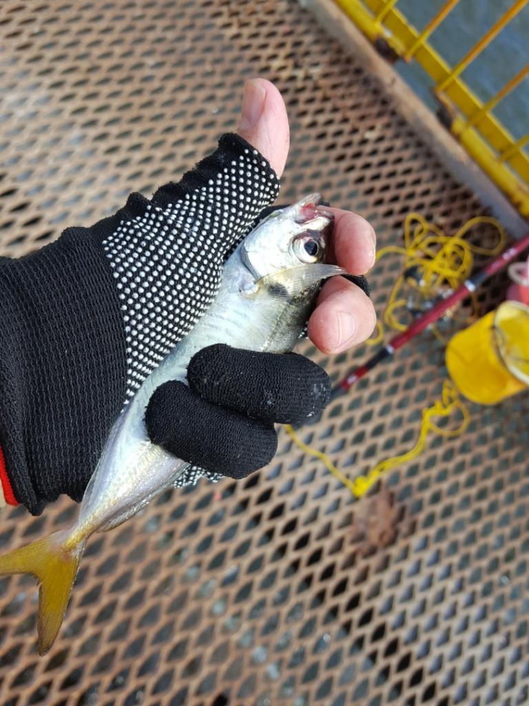 ウキフカセ釣りで豆アジが大漁|エサ取り対策法