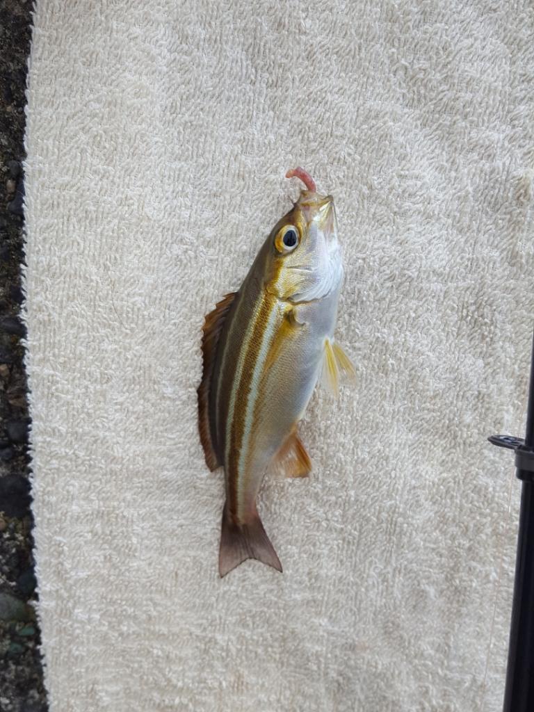 泳がせ釣りで大物がかかった!!