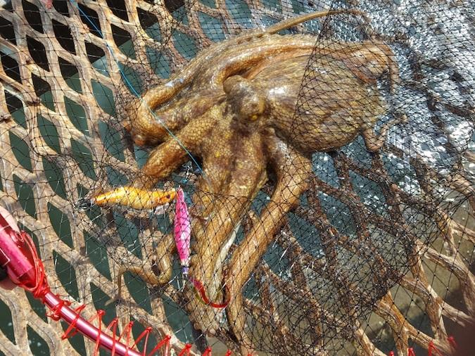 タコ釣りでついに1kgオーバー捕獲!!おすすめの仕掛けを紹介